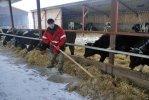 Скотник Мухтар Генджаев кормит своих рогатых подопечных.