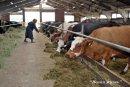 Обязанность А.И. Кузьмичёвой - подвигать коровам корм.